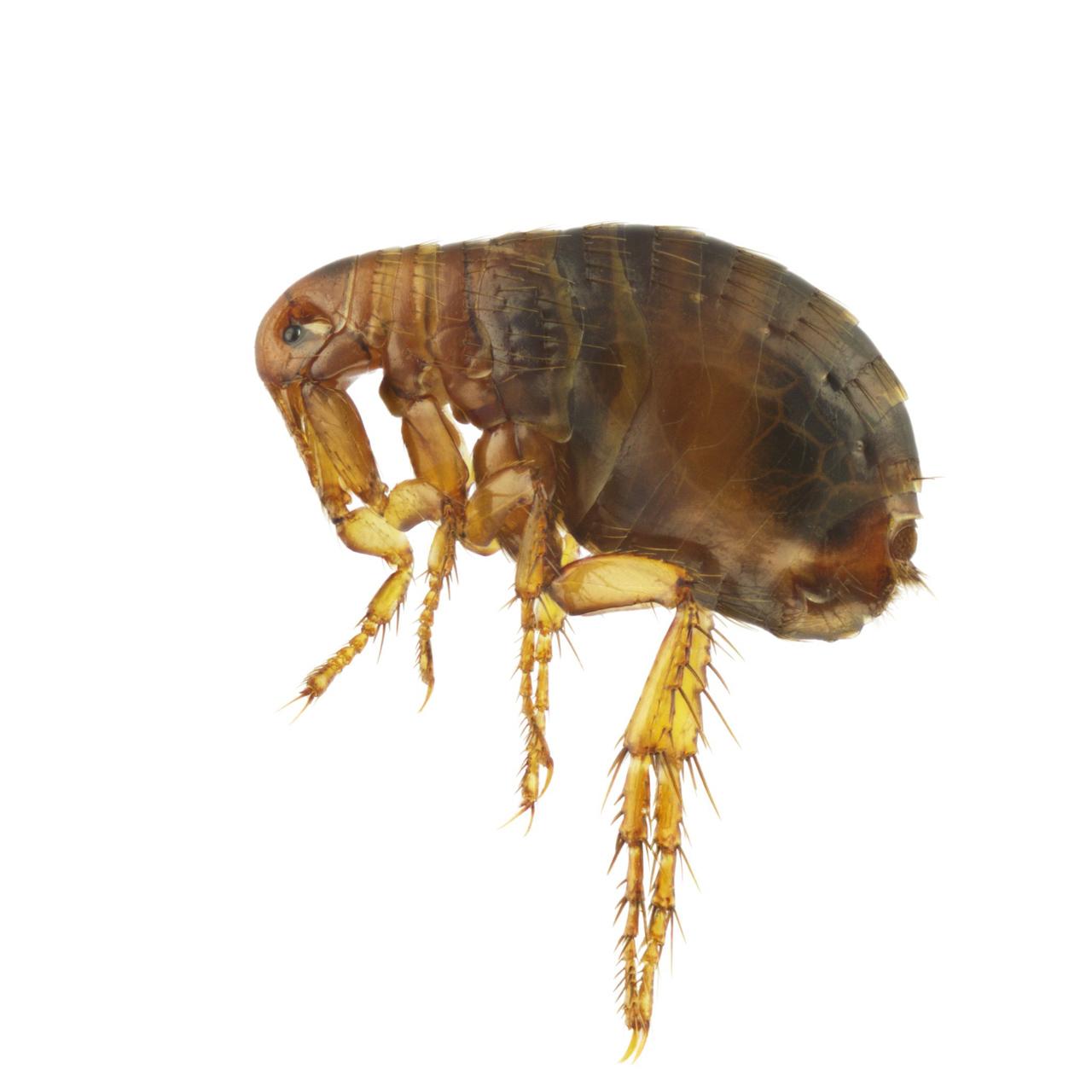 Flöhe sind sehr klein. So sieht ein Menschenfloh (Pulex irritans) in der Nahansicht aus.